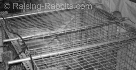 Rats don't belong in rabbit cages! This one is squeezing into a 1