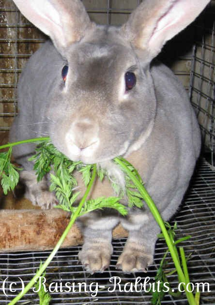 Rabbit feeding in carrot tops