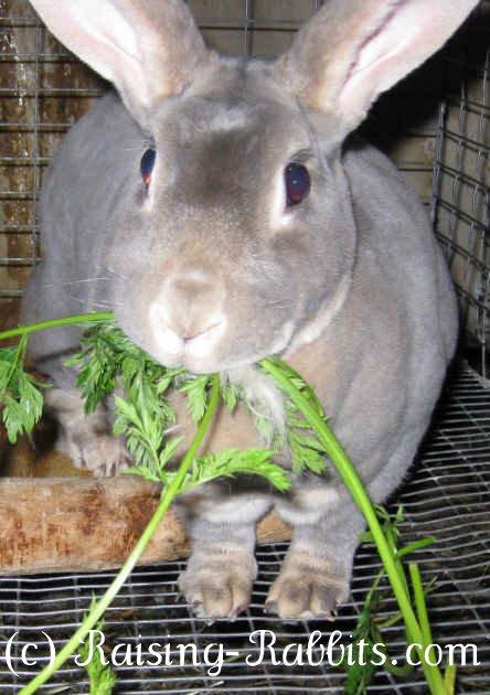 Rabbit feeding in carrot tops