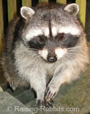 Rabbit Farming - the raccoon is a formidable predator of rabbits