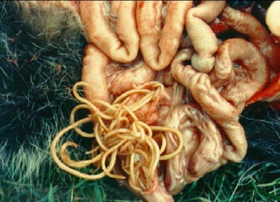 These raccoon intestines are full of raccoon roundworms