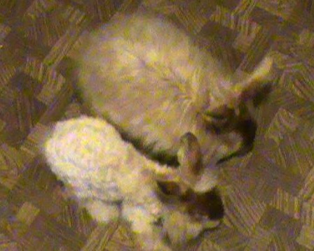 Ralph the test bunny and a recently shorn Satin Angora