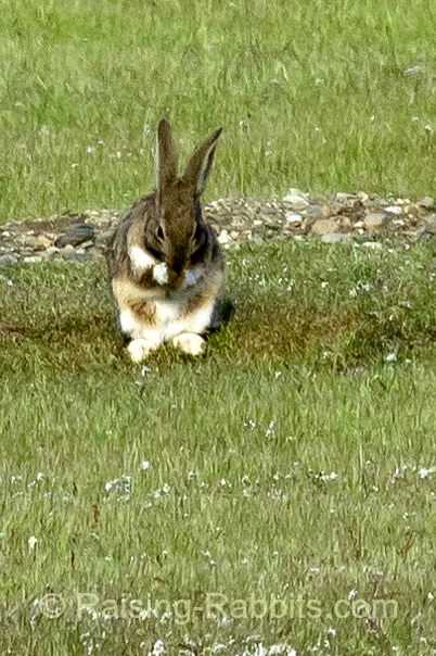 Feral rabbit grooms itself in a field of burrows on San Juan Island WA