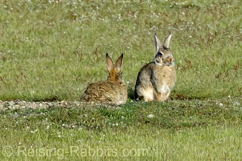 Feral San Juan Rabbits on San Juan Island, WA State.