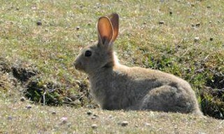 The San Juan Rabbit is the offspring of the original European Wild Rabbit