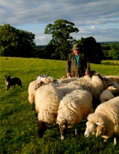 English shepherd with his dog and sheep