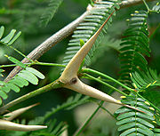 Bull's Horn Acacia Tree lives in mutual symbiosis with the acacia tree ant