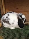 Honey the Mini Lop