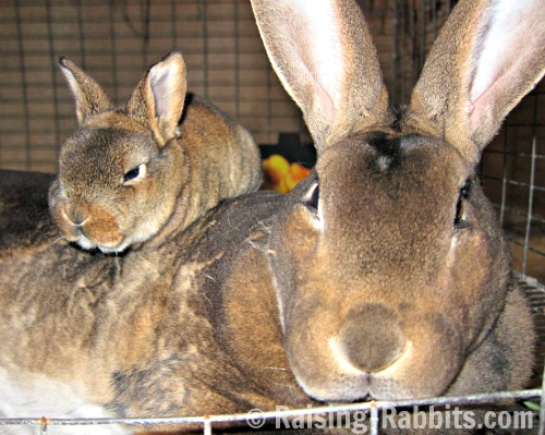 Weaning rabbits - This 2 1/2 week old kit is unweaned. Its sibling died from dysbiosis/enterotoxemia the day before this picture was taken.