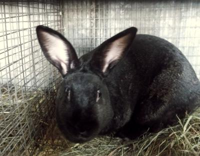 Why I Raise New Zealand Rabbits
