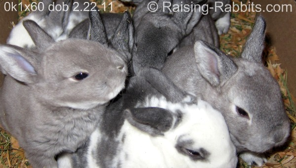 3 week old chinchilla rex litter of bunnies
