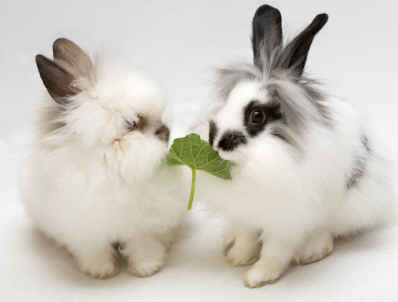 Two Lionhead rabbits