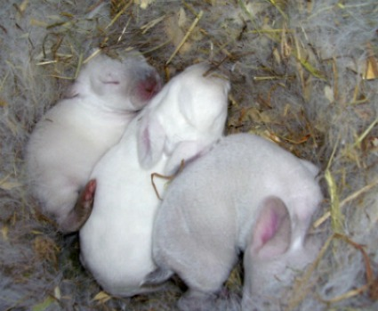Three Californian kits from two mothers cuddling in the nest