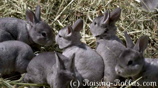 Chinchilla Rex Bunny Rabbits