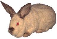 Altex Rabbit Breed - TAMUK