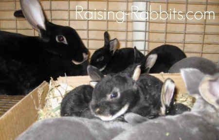 Black Otter Rex rabbit doe and bunnies