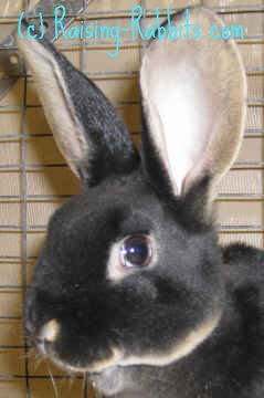 Young black otter rex rabbit from Aurora Rex Ranch