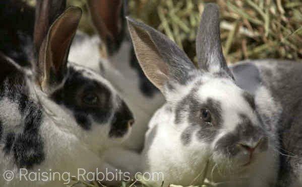 Broken otter rex rabbits resting in a bed of hay
