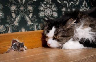 Cat stalks mouse