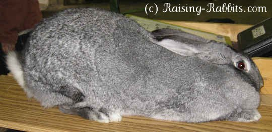 This 17 pound Flemish Giant is not done growing yet