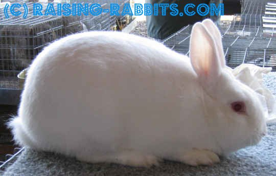 Florida White Rabbit, albino in coloration
