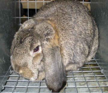 Chestnut Agouti French Lop Rabbit