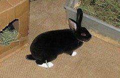 Pet rex rabbit