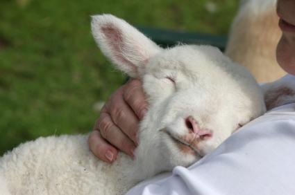 Lamb resting on shepherd