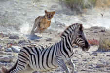 Lion chases zebra