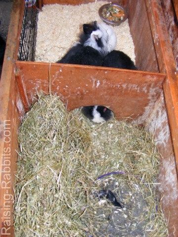 Lionheads, kits in double hutch