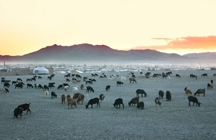 Mongolian herd of goats in the early morning, dependent on a shepherd