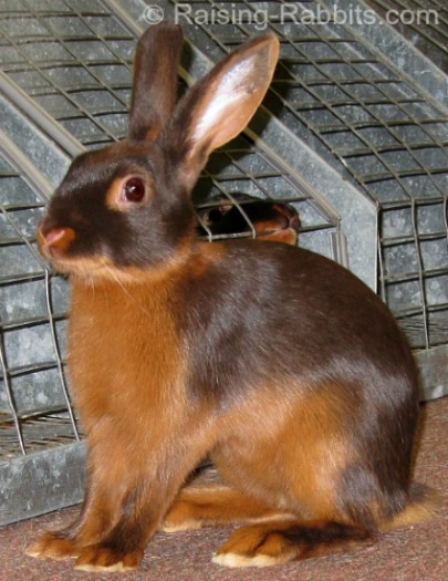 Chocolate Tan Rabbit on the show table
