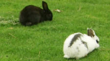 Two bunnies on the campus of the University of Victoria, BC