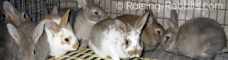 Raising Baby Rabbits - It's weaning day for these nearly 7 week old kits.