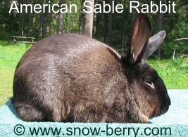 American Sable Rabbit