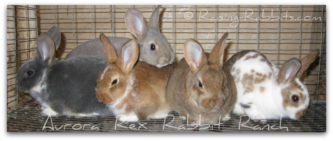 Young recently weaned litter of Rex rabbits at Aurora Rex Rabbit Ranch