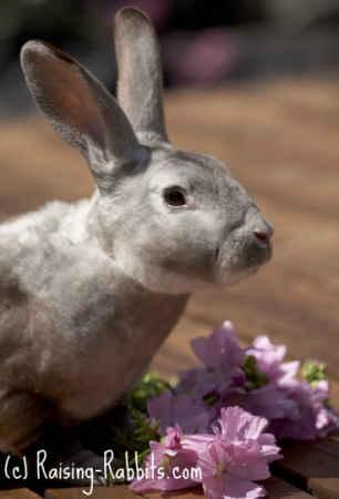 Healthy chinchilla rex rabbit