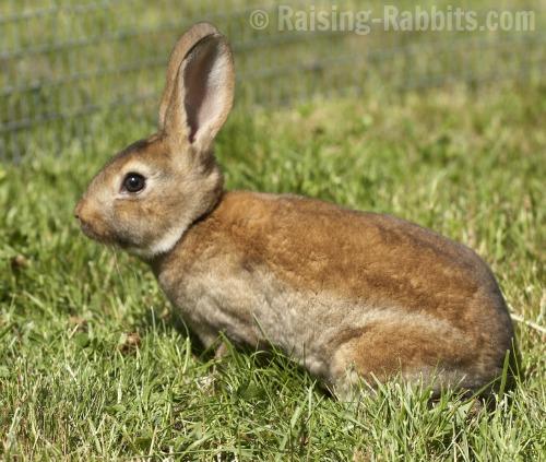 Healthy young Castor Rex Rabbit from Aurora Rex Rabbit Ranch