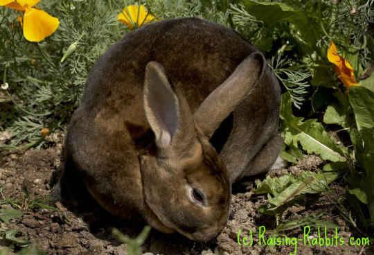 Castor rex rabbit in poppies
