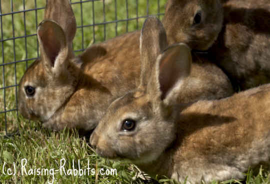 Young castor rex rabbits in grass