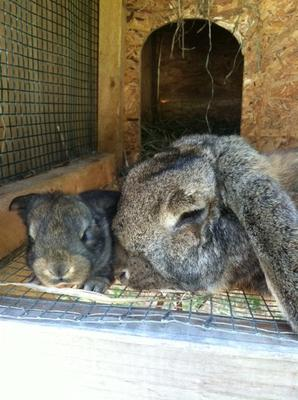 Momma the French Lop and her baby from the previous litter