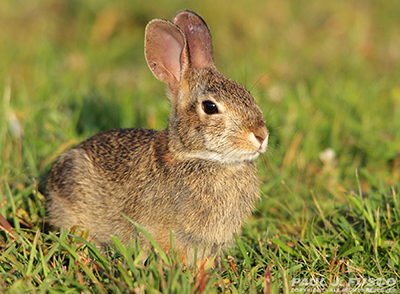 Wild Cottontail