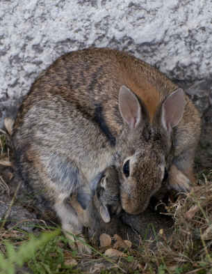 North American Cottontail Rabbit with 2.5-week-old kits.