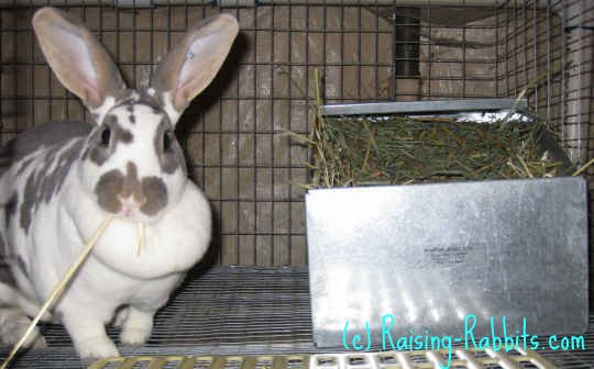 Pregnant rabbit - Xena is 28 days pregnant