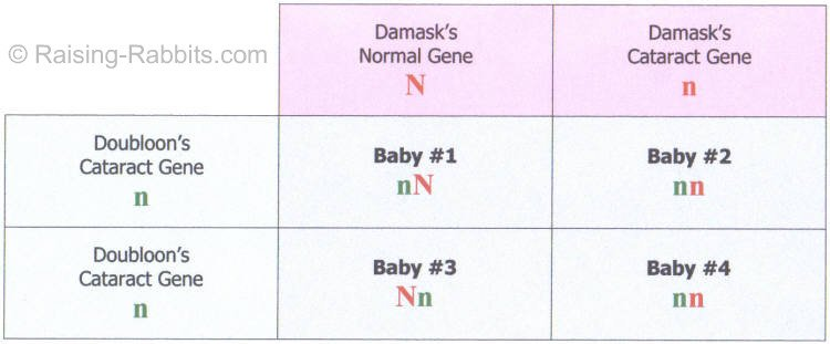 Punnett Square of a breeding of Doubloon and Damask done in order to possibly uncover genetic traits