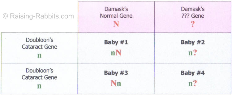 Punnett Square of a test breeding in order to uncover the genetic trait of juvenile cataracts in rabbits