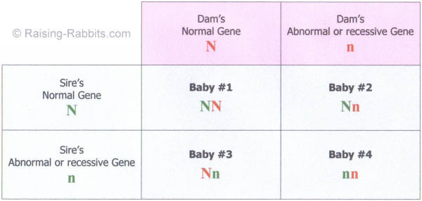 Punnett Square of a heterozygous breeding