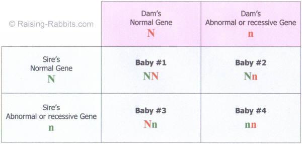 Punnett Square of a heterozygous breeding