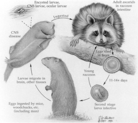 Baylisascaris procyonis life cycle