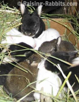 These rex meat rabbits contribute to self sufficiency